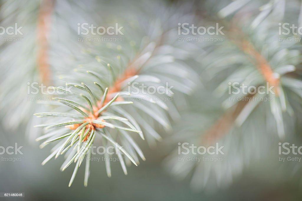 Blue Spruce Needles stock photo