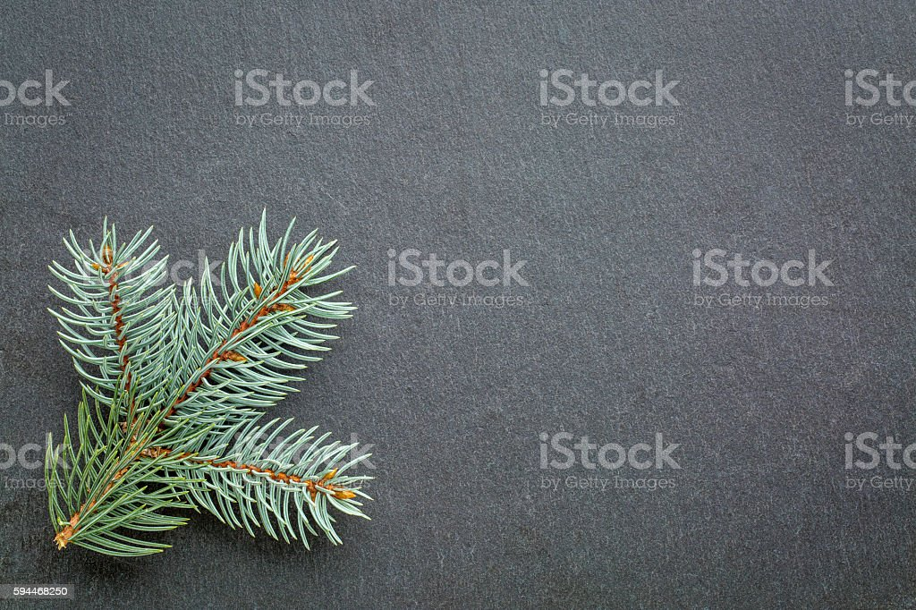 blue spruce on slate stone stock photo