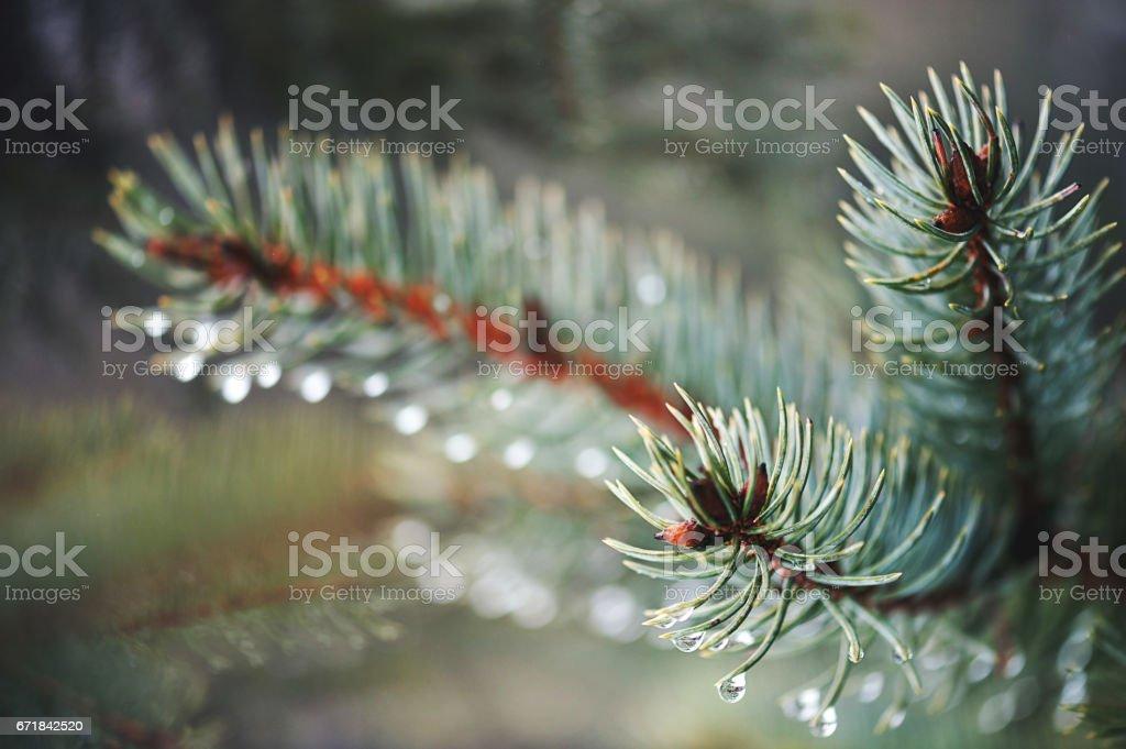 Blue Spruce stock photo