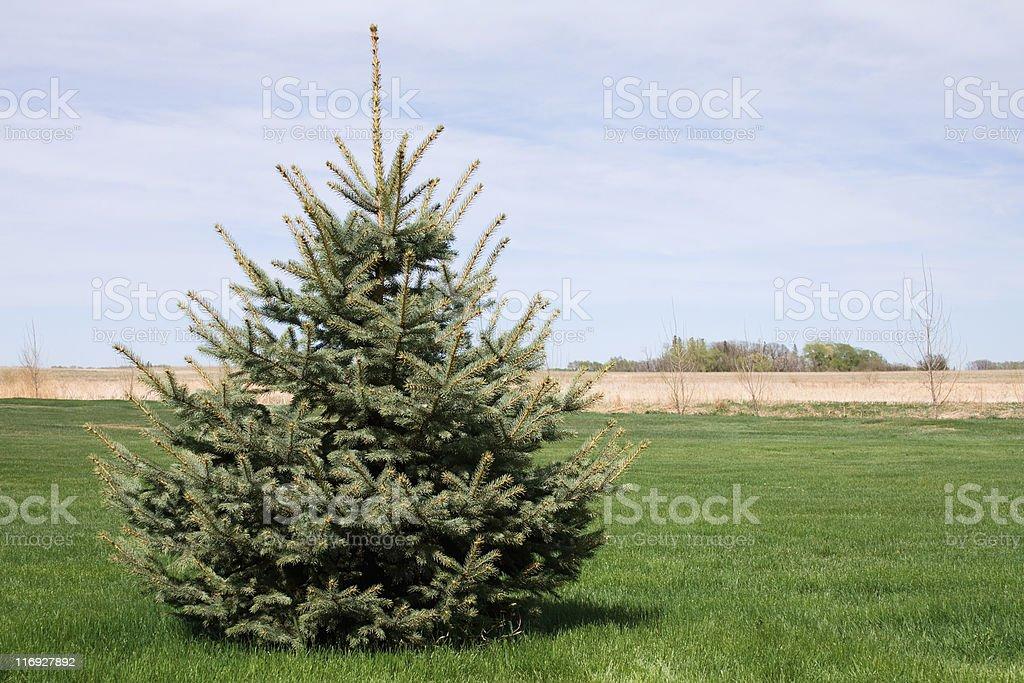 Blue Spruce Tree royalty-free stock photo