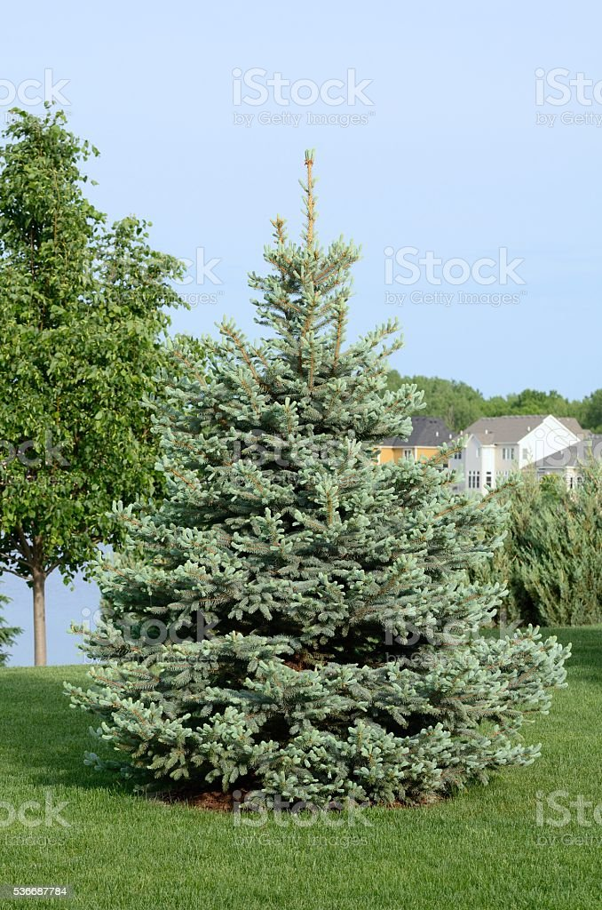 Blue Spruce Tree stock photo