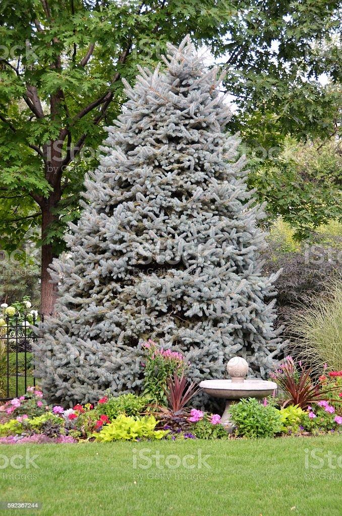 Blue Spruce Tree stock photo