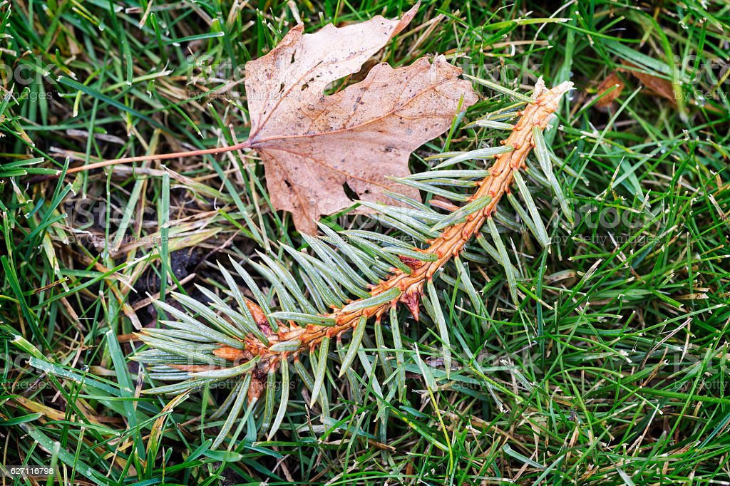 Blue Spruce Twig and Dry Maple Leaf on Green Grass stock photo