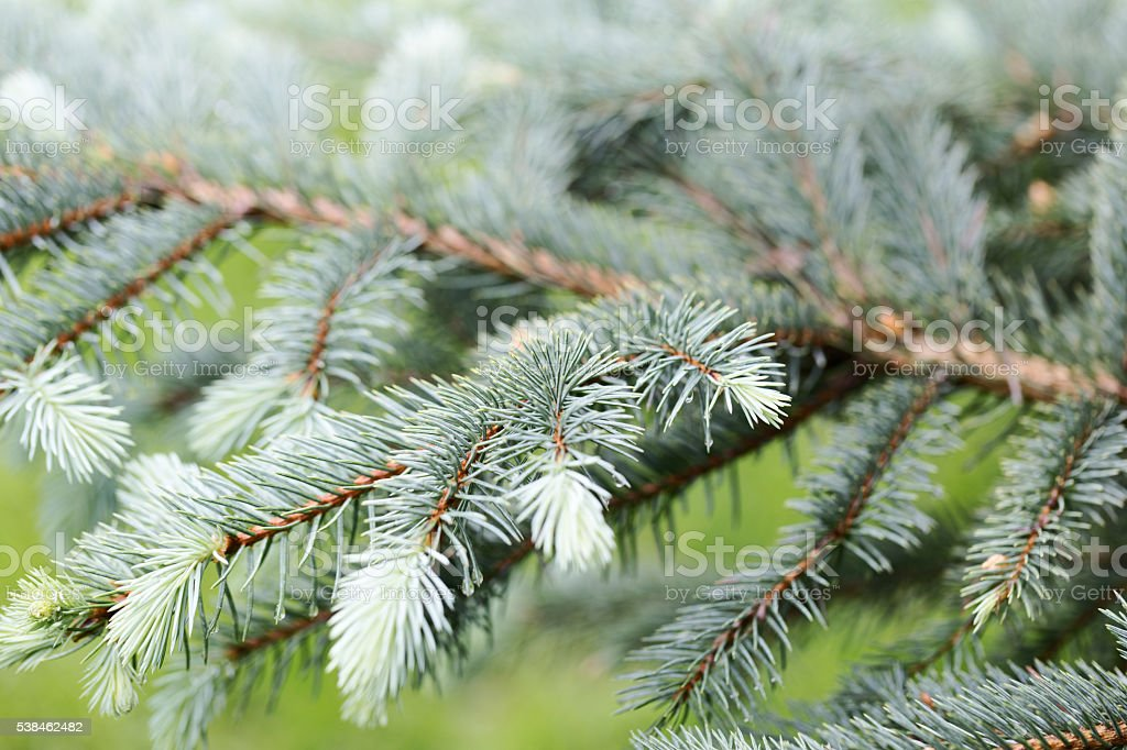 Blue Spruce with Fresh New Growth stock photo