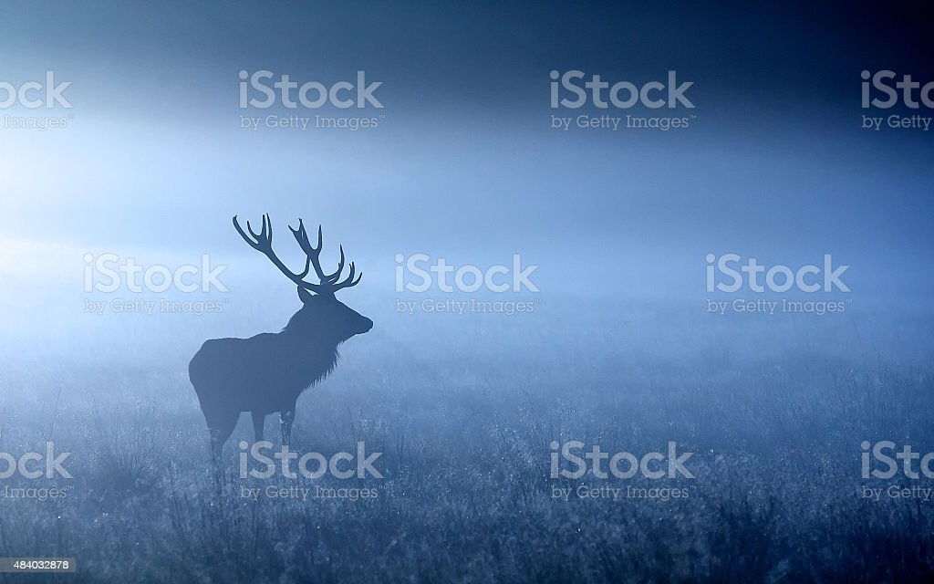 blue stag stock photo