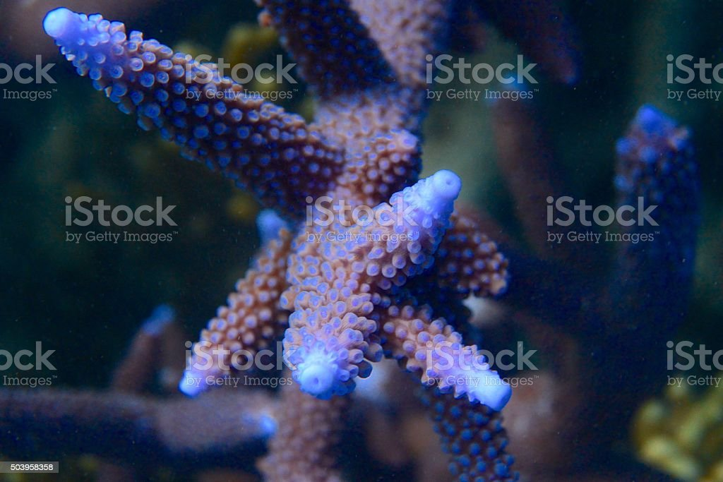 Blue Staghorn coral, Acrophora, closeup stock photo