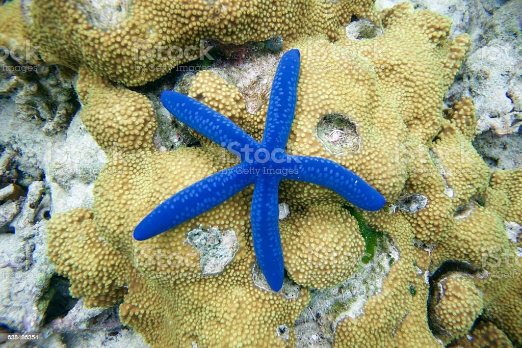 Blue star fish on reef (Linckea Laevigata) stock photo
