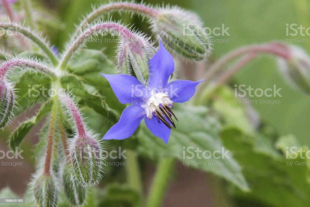 Blue star flower stock photo