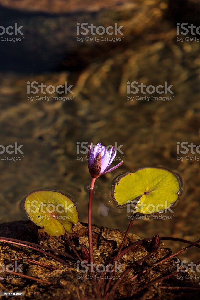 Blue star water lily, Nymphaea nochali stock photo
