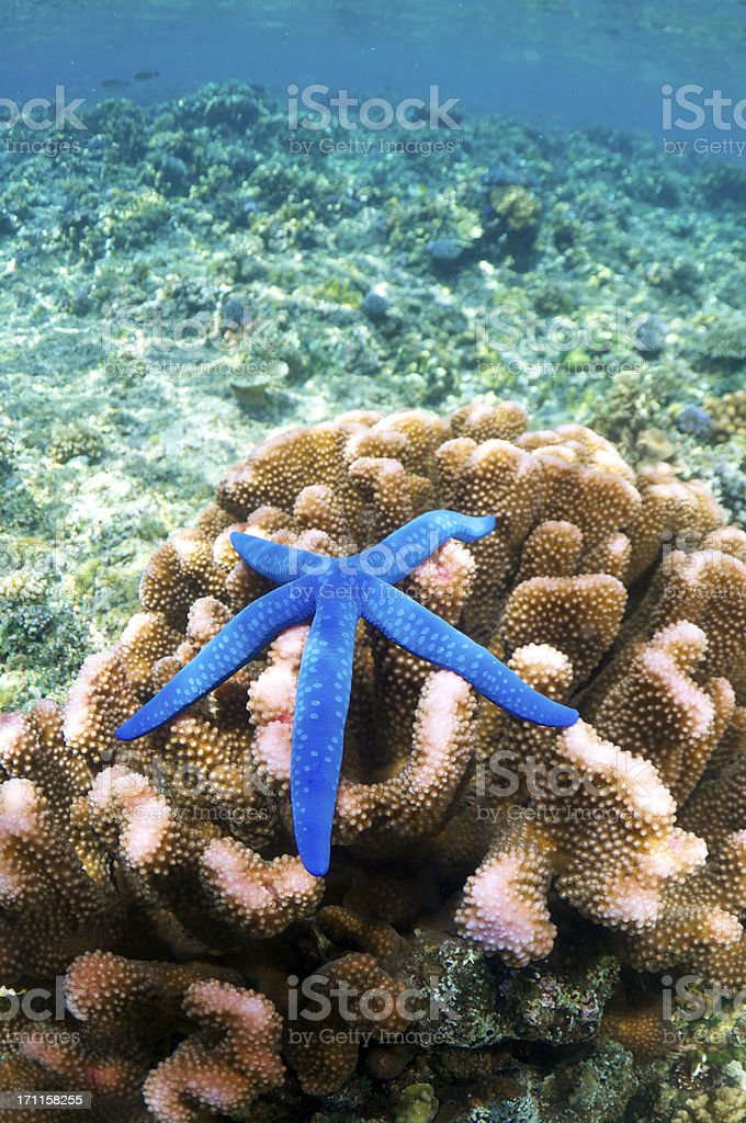 Blue Starfish on Coral royalty-free stock photo