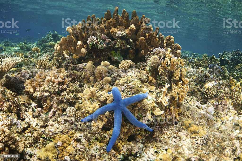 Blue Starfish on Coral stock photo