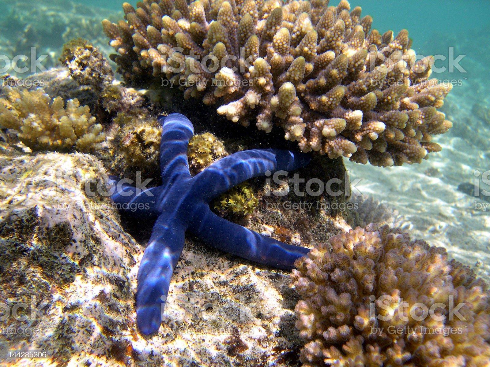 blue starfish royalty-free stock photo