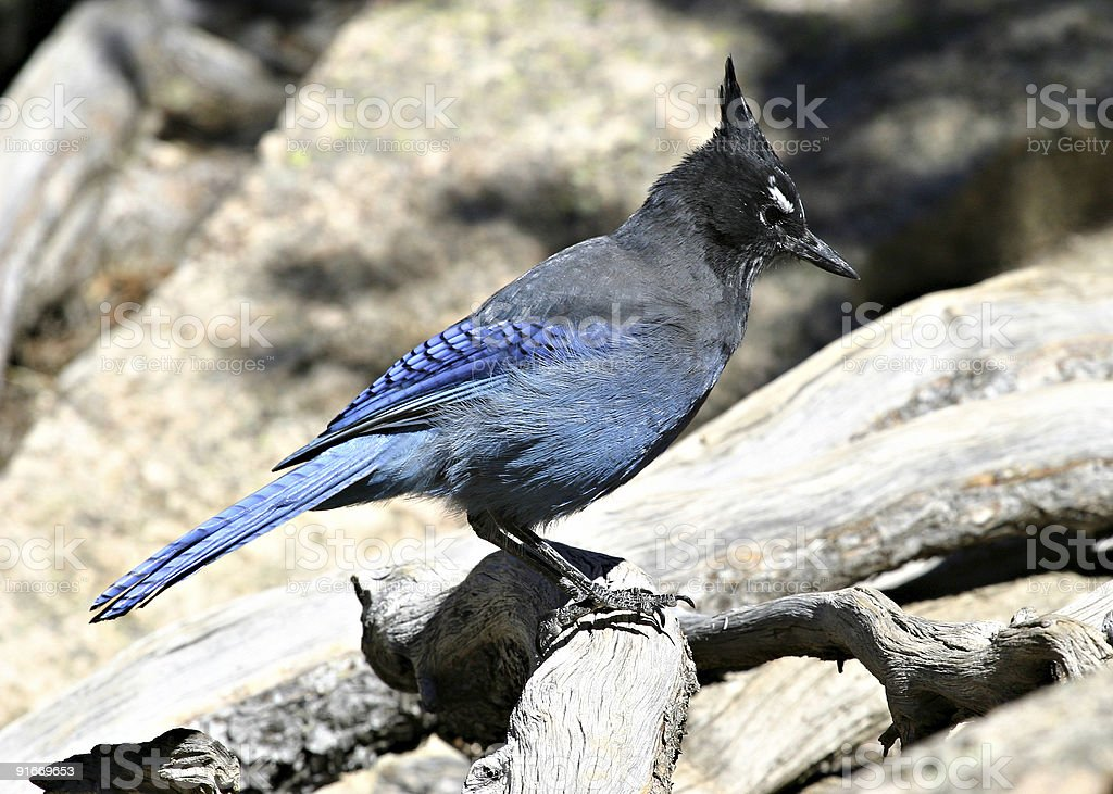 Blue Steller's Jay (Bluejay) On A Log Close-Up Profile stock photo