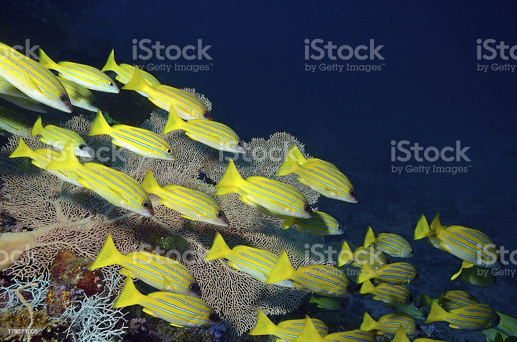 Blue striped Snappers on fan coral stock photo