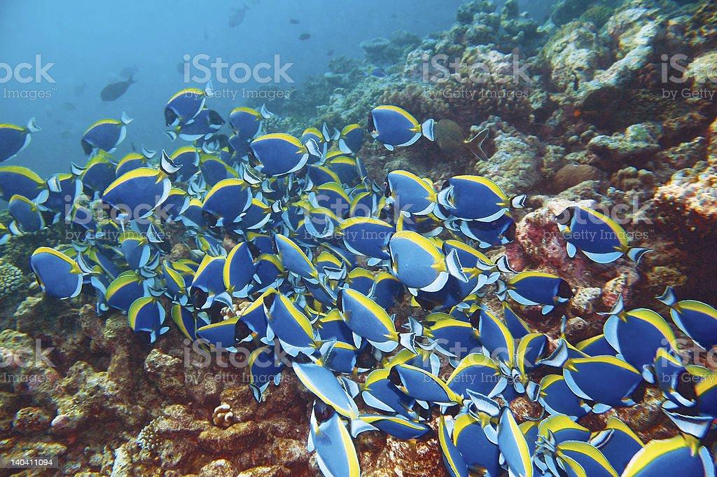 Blue Surgeonfish Migration stock photo