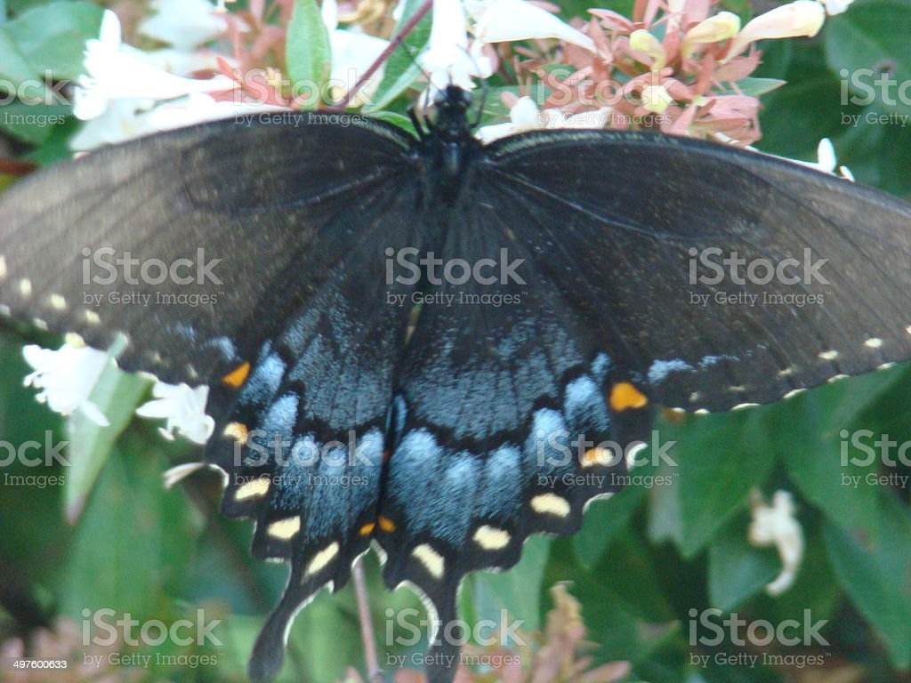 blue swallowtail butterfly stock photo