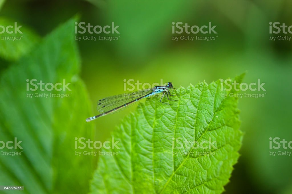Blue tail dragonfly on a leaf stock photo