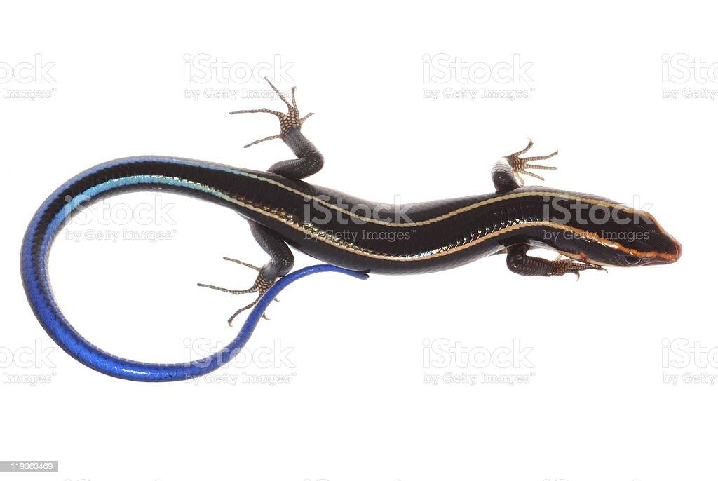 blue tail skink lizard stock photo