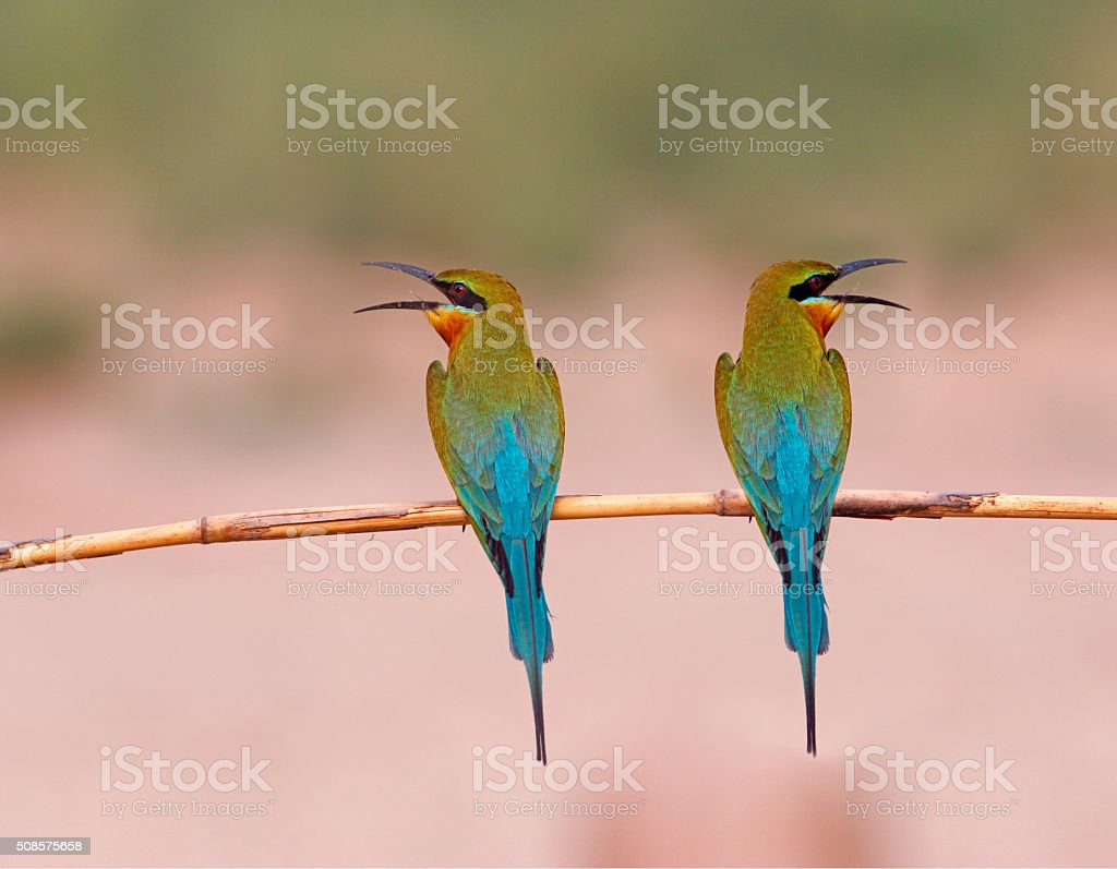 Blue tailed Bee Eater (Pair) stock photo