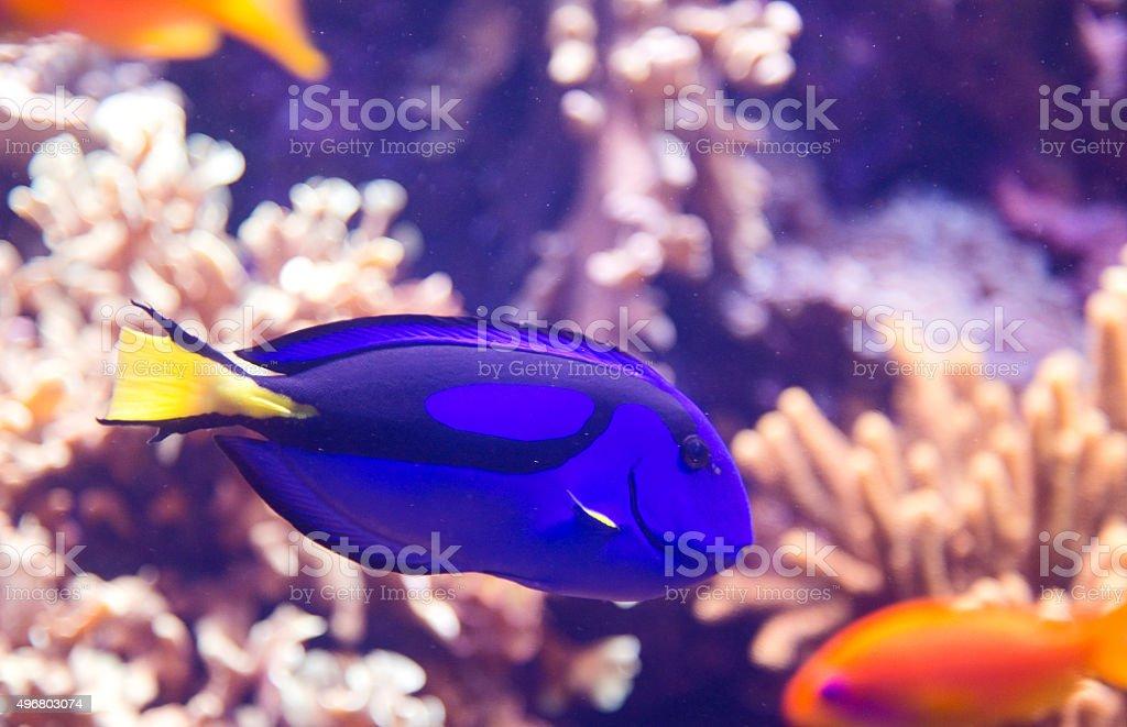Blue tang fish royalty-free stock photo