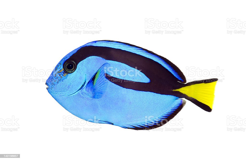 Blue tang fish with black markings and a yellow tail stock photo
