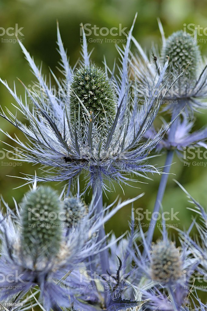 Blue thistle in flower royalty-free stock photo