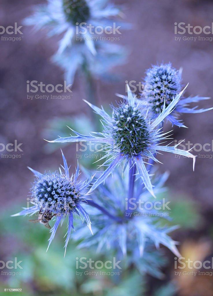 Blue Thistle in Garden stock photo