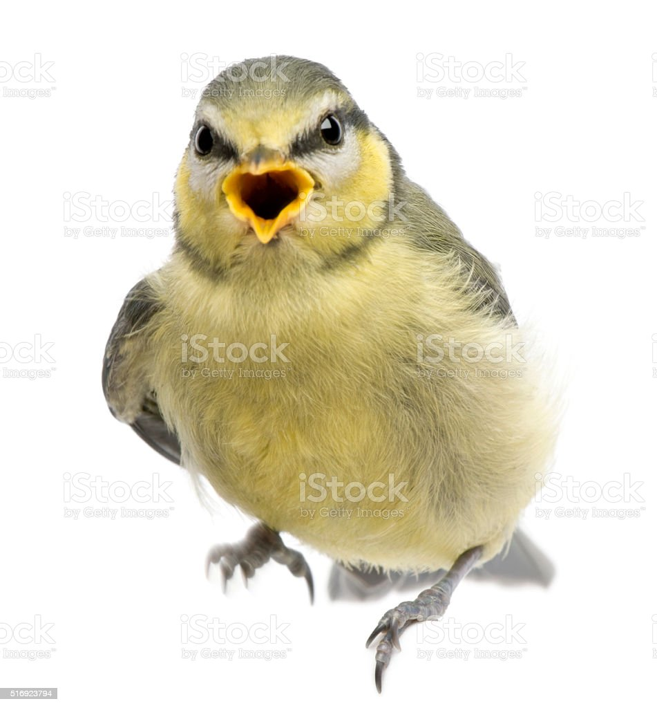 Blue Tit, 23 days old, perched against white background stock photo