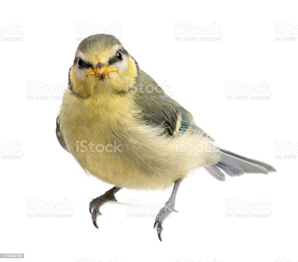 Blue Tit, 23 days old, perching on branch stock photo