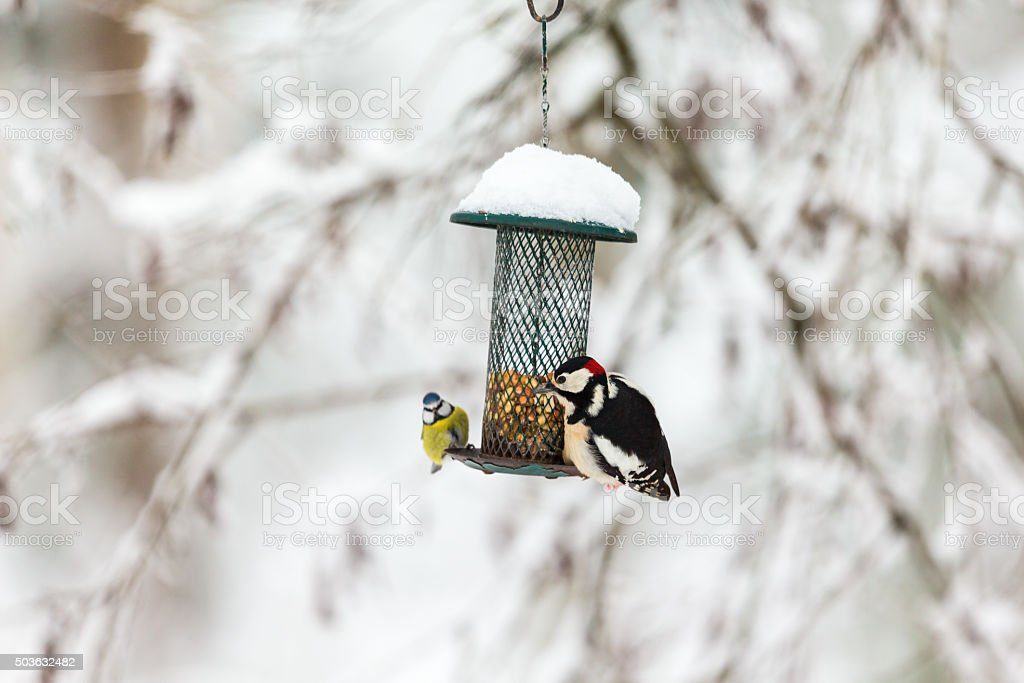 Blue tit and a Great Spotted Woodpecker stock photo