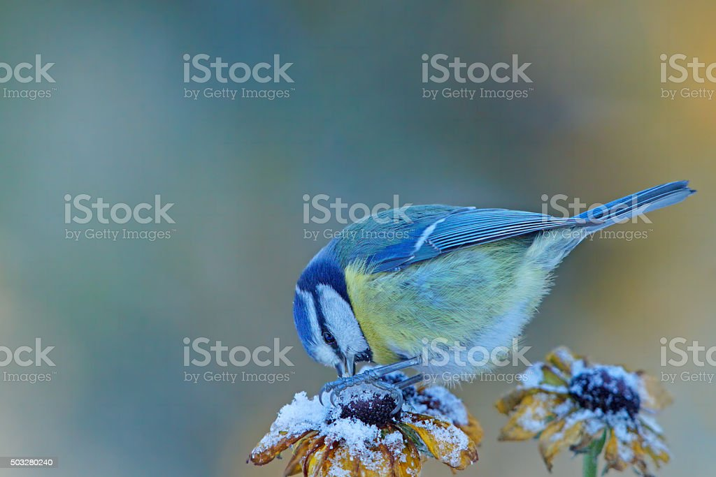 Blue tit at the feed stock photo