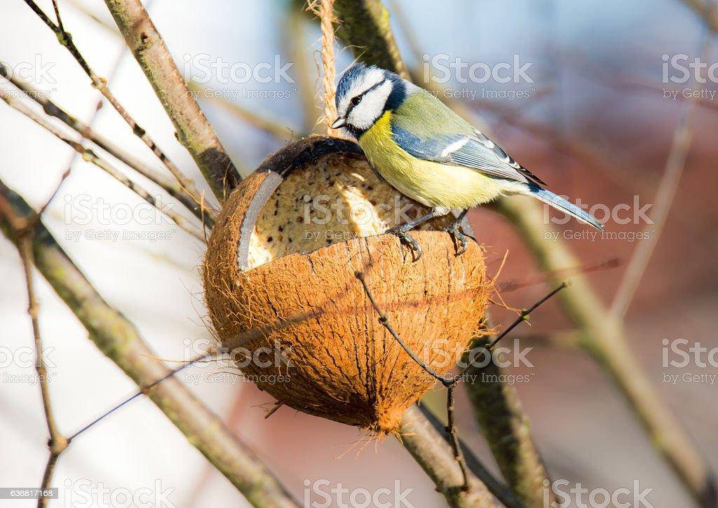 Blue tit bird eating at a bird feeder stock photo