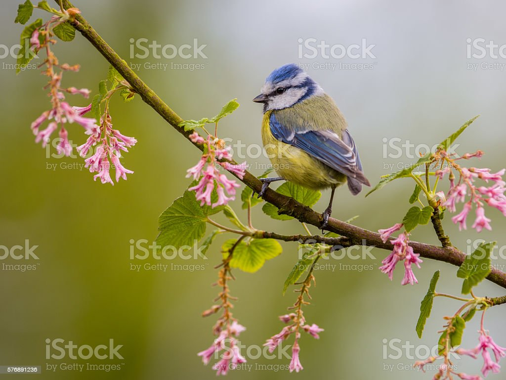 Blue tit blossom twig stock photo