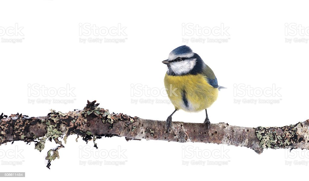 Blue Tit, Cyanistes caeruleus, on twig; isolated on white stock photo