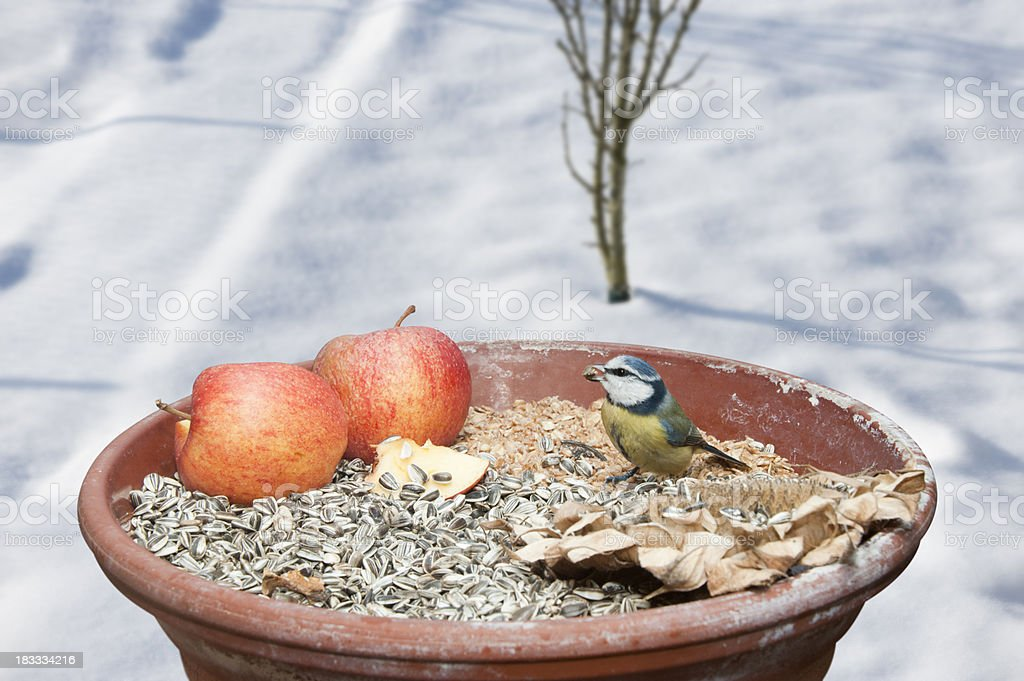 blue tit [Cyanistes caeruleus, Parus caeruleus] royalty-free stock photo