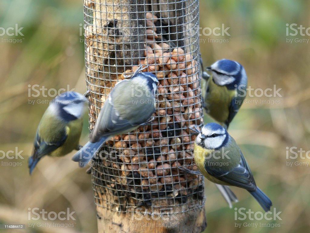 Blue Tit  Feeding Frenzy royalty-free stock photo