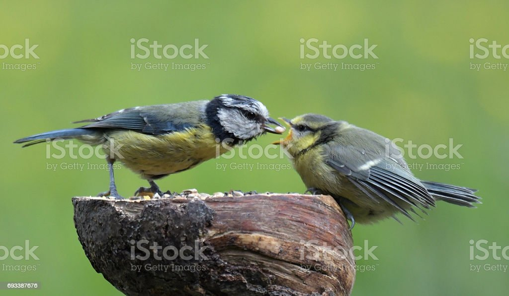 Blue Tit feeding her youngster stock photo