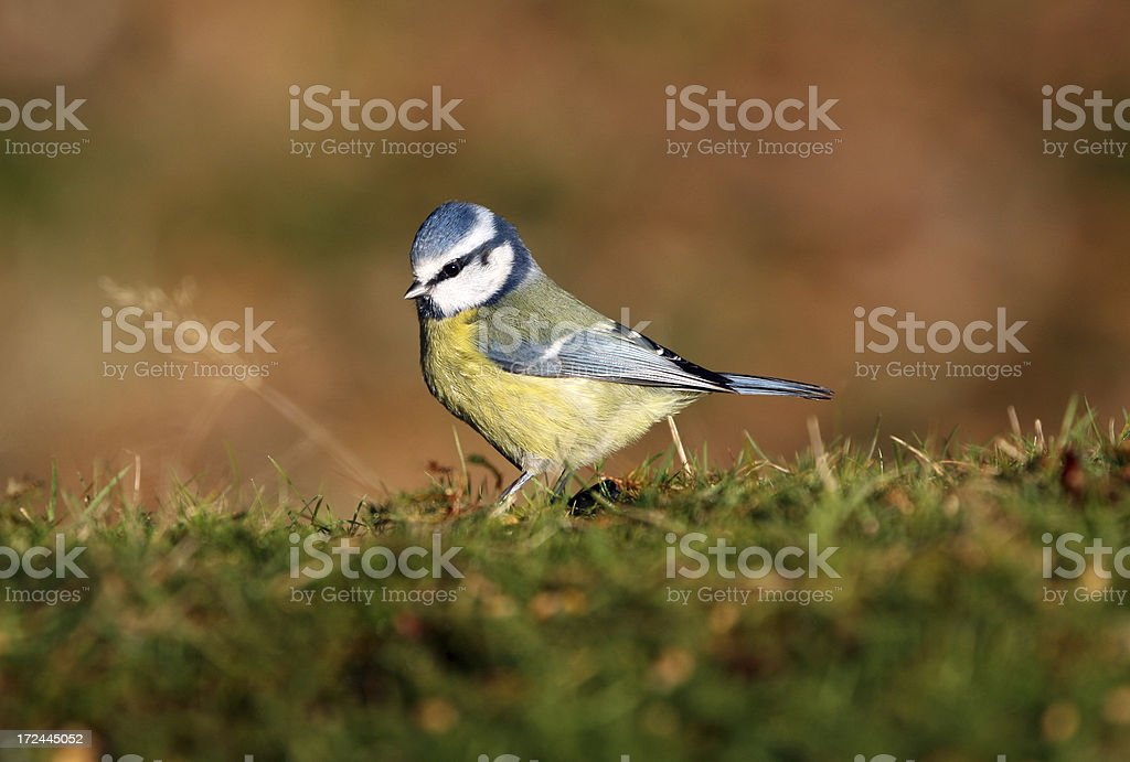 Blue tit foraging close up royalty-free stock photo