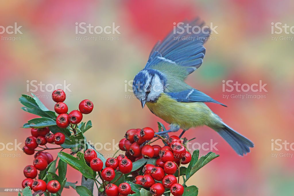 Blue tit in autumn stock photo