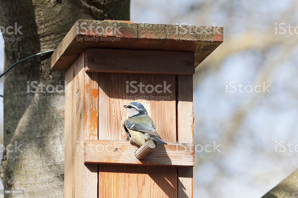 Blue tit in front of her nest box stock photo