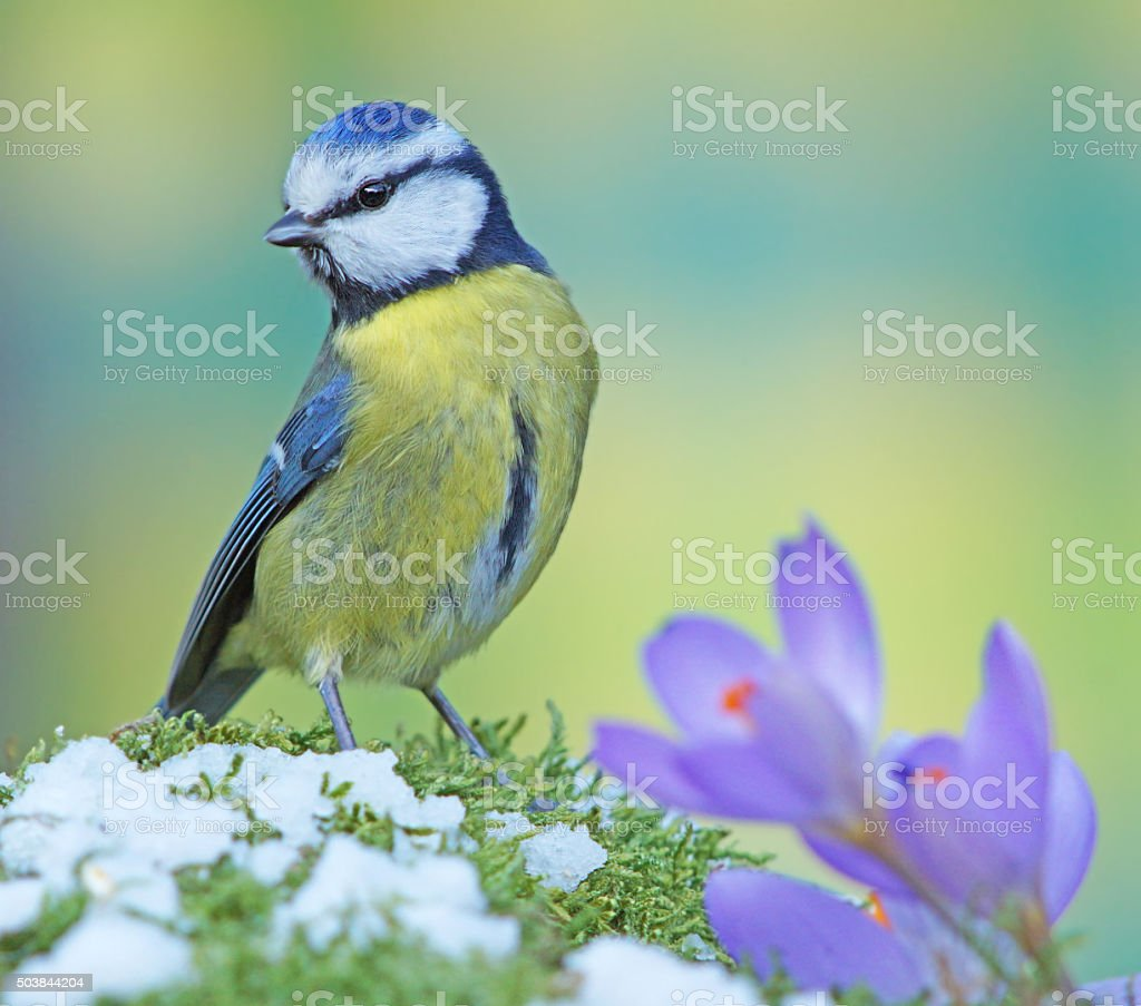 Blue tit in springtime stock photo