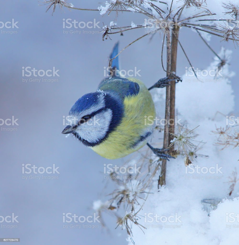 Blue tit in winter stock photo