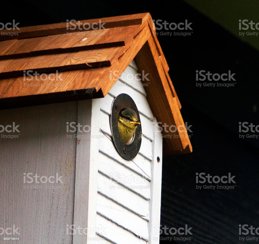 Blue tit looking out of nest box stock photo