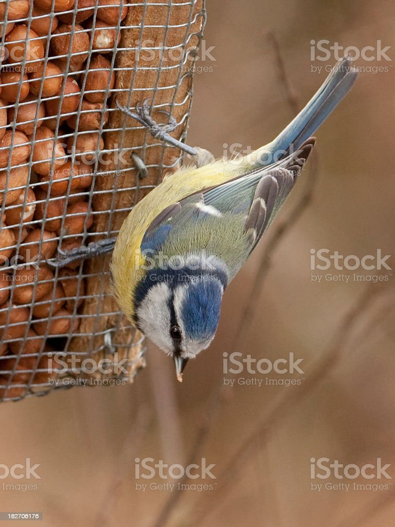 Blue Tit  on a peanut feeder royalty-free stock photo