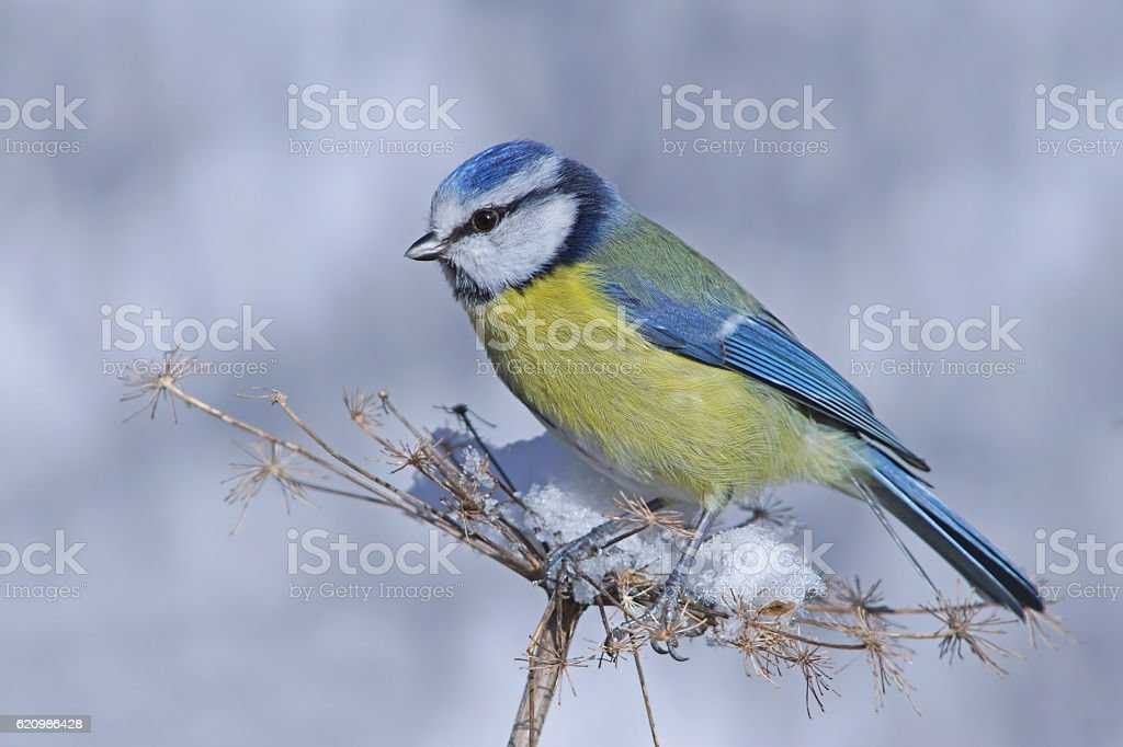 Blue tit on a plant stock photo