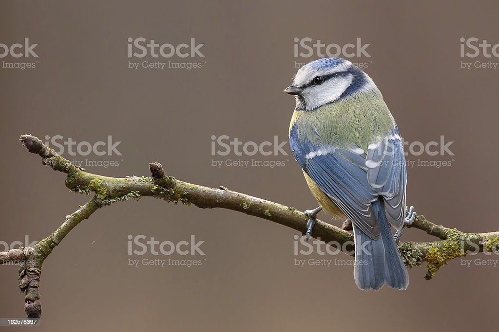 Blue tit on a twig in the autumn (Cyanistes caeruleus). royalty-free stock photo