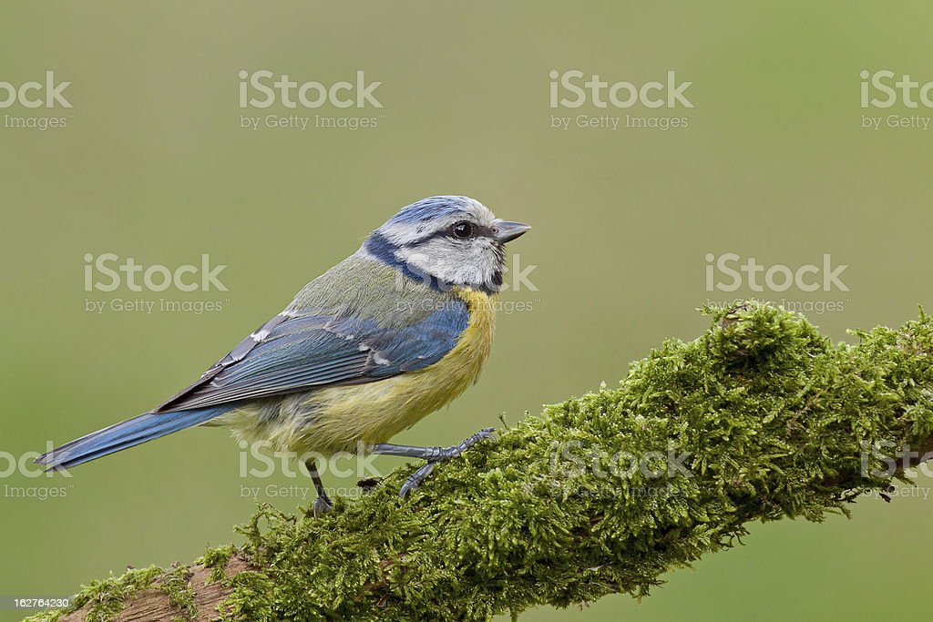 Blue tit on a twig with mos (Cyanistes caeruleus). royalty-free stock photo