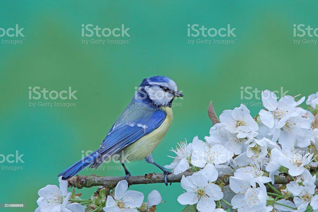 Blue tit on apple-twig stock photo