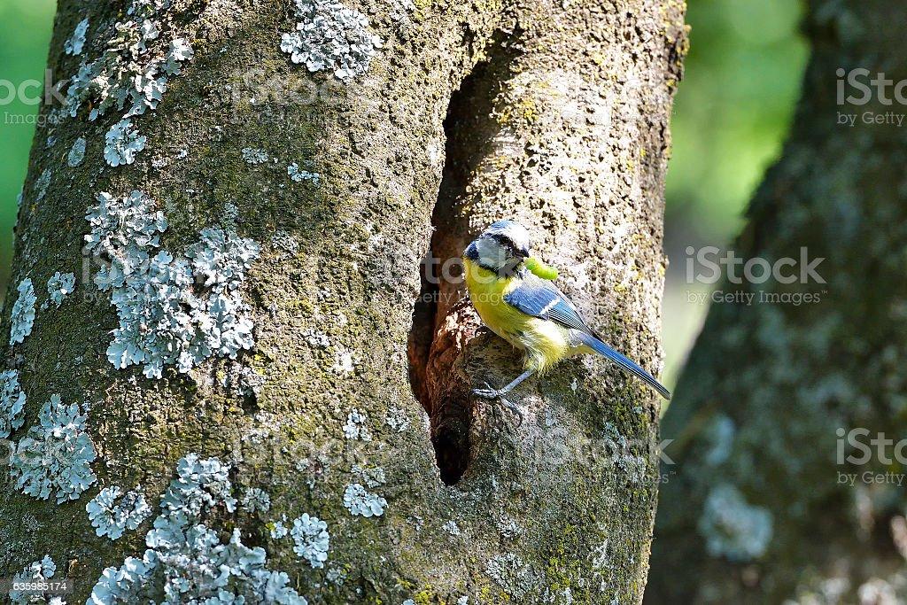 blue tit on branch in spring (parus caeruleus) stock photo
