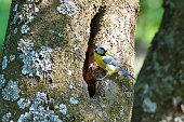 blue tit on branch in spring (parus caeruleus)